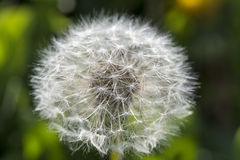 Dandelion, botanical name taraxacum officinale, is a perennial weed Stock Photography