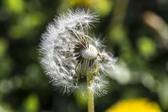 Dandelion, botanical name taraxacum officinale, is a perennial weed Royalty Free Stock Photos