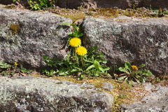 Dandelion on a brick. With power of nature Royalty Free Stock Photos