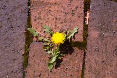 Dandelion and bricks Stock Images