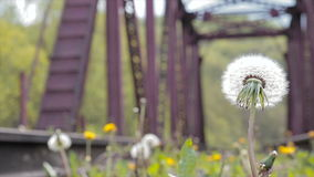 Dandelion with bridge. Dandelion with metal bridge railway stock footage