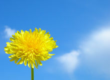 A Dandelion bright as the Sun royalty free stock photography
