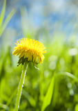 Dandelion. Bright and colorful dandelion with green grass and blue sky background Stock Photo