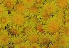 Dandelion bright flower plant yellow beauty green texture flora garden orange chrysanthemum dandelion pattern field floral abstrac. T summer flowers spring Stock Images