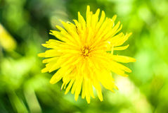 Dandelion. Bright yellow dandelion on meadow royalty free stock image