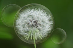 Dandelion Bubbles stock photo