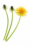 Dandelion. Buds and a flower of dandelion (Taraxacum officinale), isolated in front of white background royalty free stock photo