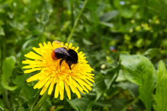 Dandelion and bumblebee Royalty Free Stock Images