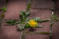Photo shows some weeds growing on a courtyard dandelion and grass. Dandelion bunch grow in cracked ochra pavement royalty free stock photo
