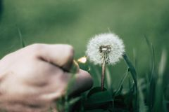 Dandelion is burning from the fire of the lighter stock photo