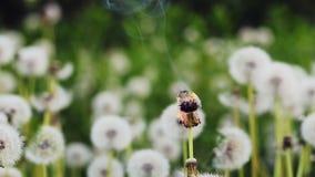 Dandelion burning in slow motion. Burning dandelion against the background of other flowering dandelions stock video footage