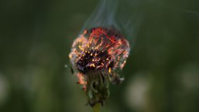 Dandelion burning in slow motion. Extreme close up stock video footage