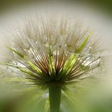Dandelion Burst Stock Photo