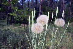 Dandelion bush, Taraxacum, among trees on a sunny day. stock images