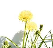 A dandelion bush on a white background royalty free stock photos