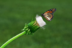 Dandelion and Butterfly. Dandelion and monarch butterfly, on a green background Royalty Free Stock Image