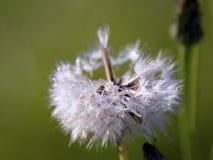 Dandelion całujący rosą fotografia royalty free