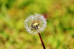 Dandelion. Is called  various plants generally hollow rod and whose inflorescence is a flat and yellow flower head. It is generally capitulated to ligulate Stock Photos