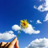 A dandelion can brighten the sky. stock images