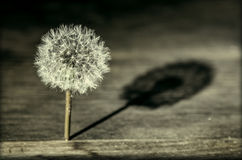 Dandelion casting a shadow Royalty Free Stock Photos