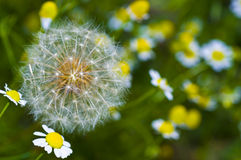 Large dandelion and chamomile flowers. Dandelion on a background of chamomiles Stock Photos