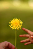 Dandelion child Stock Photos