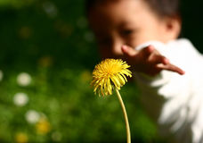 Dandelion child. Child hand holding a dandelion royalty free stock photos