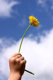 Dandelion child. Child hand holding a dandelion royalty free stock photography