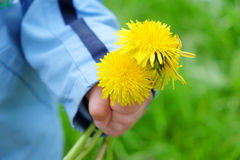 Dandelion in a child`s hand Stock Image