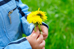 Dandelion in a child`s hand Royalty Free Stock Images