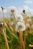 Dandelion ciosu piłki badyle Zdjęcie Royalty Free
