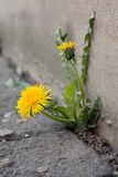 Dandelion in the city Stock Photos