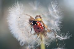 On dandelion climbed ladybug and her movements seeds began to fall and scatter stock photography