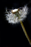 Dandelion clock Royalty Free Stock Photos