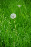 Dandelion clock. A dandelion clock in the meadow Stock Photos