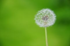 Dandelion clock. A dandelion clock in the meadow Stock Photography