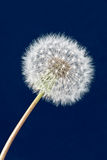 Dandelion clock Stock Photos