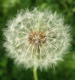 Dandelion clock. Closeup of a dandelion clock with seeds ready to fly away stock images