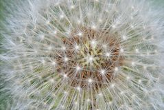 Dandelion clock Royalty Free Stock Image
