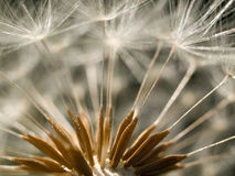 Dandelion clock Stock Images
