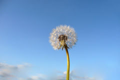 Dandelion Clock Royalty Free Stock Photo