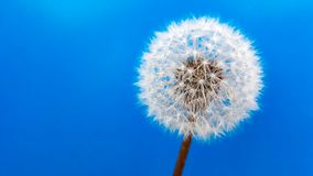 Dandelion blue background
