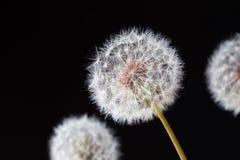 Dandelion clock, close-up, macro - Image.  royalty free stock image