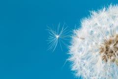 Dandelion clock, close-up, macro - Image.  stock photo