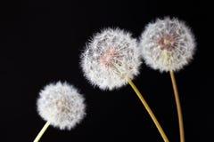 Dandelion clock, close-up, macro - Image.  royalty free stock photo
