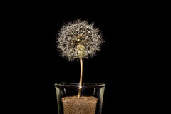Dandelion Clock Close-Up In Glass On Black Background Stock Images