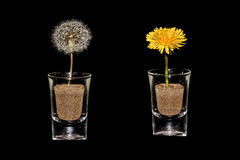 Dandelion Clock & Dandelion Close-Up In Glass On Black Background Royalty Free Stock Image
