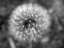 Dandelion clock on a dark background Royalty Free Stock Photo