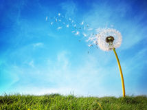 Free Dandelion Clock Dispersing Seed Stock Photography - 52852852
