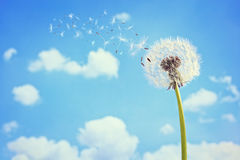 Dandelion clock dispersing seed Royalty Free Stock Image